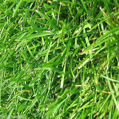 Bermuda Grass Seeds (Common Unhulled) 2 Lbs Bulk Bag