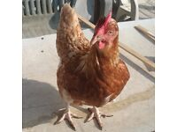 Lohman Brown hens for sale