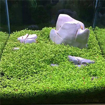 Best Aquarium Grass Seed Aquatic Mini Leaf Carpet Water Plant Fish Tank Decor US