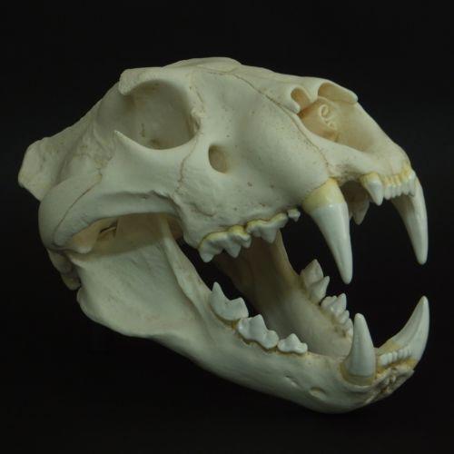 Lion Skull | eBay