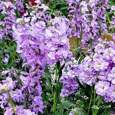 Matthiola bicornis - Night Scented Stock - 3000 seeds - Annual