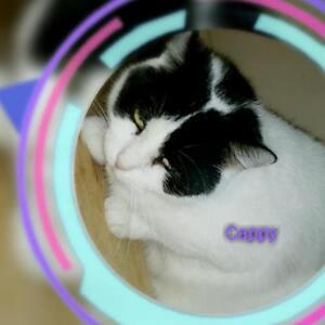 "Adult Female Cat - Domestic Short Hair-black and white: ""Cappy"""