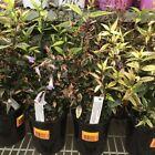 Plant Hedging Flowerings
