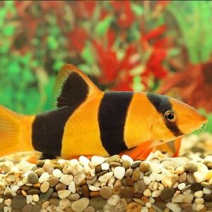 Group of 6 clown loaches