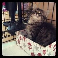 """Baby Male Cat - Domestic Long Hair: """"Justin"""""""