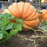 Giant Pumpkin Seeds