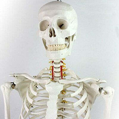 New Anatomical Human Skeleton Model With Rolling Stand 180cm Free Shipping