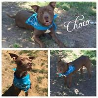 """Young Male Dog - Staffordshire Bull Terrier: """"Choco"""""""