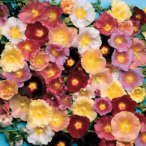 HOLLYHOCK - ANTWERP MIX - 100 FLOWER SEEDS - ALCEA FICIFOLIA