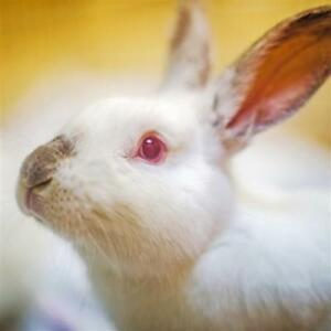 "Young Male Rabbit - Californian: ""Hopper"""