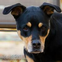 "Senior Female Dog - Rottweiler-Labrador Retriever: ""Emma"""