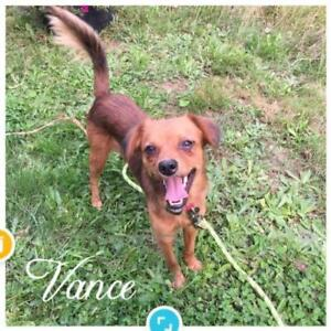 "Young Male Dog - Spaniel: ""Vance"""