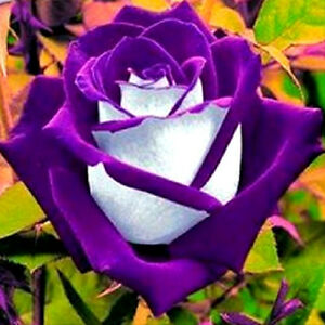 20 semi bellissima rosa osiria viola rose seeds rara rose. Black Bedroom Furniture Sets. Home Design Ideas