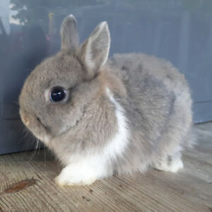 Netherland Dwarf Rabbits from $100-$180