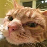 "Adult Male Cat - Domestic Short Hair: ""Marmalade"""