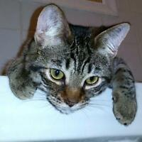 """Young Male Cat - Domestic Short Hair-Tabby - Brown: """"Neville"""""""