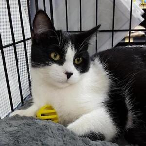 """Baby Male Cat - Domestic Short Hair-black and white: """"Jack"""""""