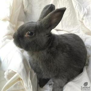 "Adult Male Rabbit - Bunny Rabbit: ""Bobby"""