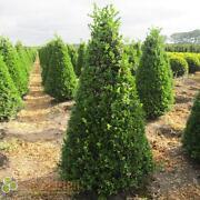 Buchsbaum Formschnitt