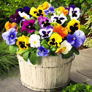 PANSY SWISS GIANT MIXED  - 1200 SEEDS - Viola wittrockiana