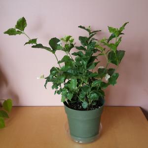 Jasmine Sambac  / Indoor Plants / Houseplants