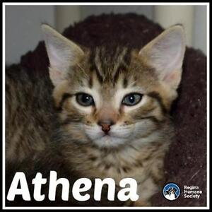 "Baby Female Cat - Domestic Short Hair: ""Athena*"""