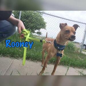 """Adult Male Dog - Chihuahua-Fox Terrier: """"Roonie"""""""
