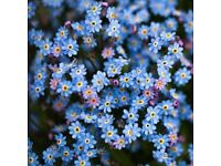 Forget-me-not plants - blue Myosotis sylvatica - will post