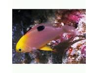 Talbot's Damselfish marine fish