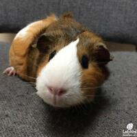 """Young Female Small & Furry - Abyssinian-Guinea Pig: """"Posey"""""""