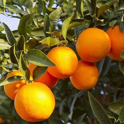 1 - 1.2m (4ft) 1 Mandarin Orange Citrus Fruit Tree in 6L Pot