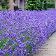 Lavender Plug Plants