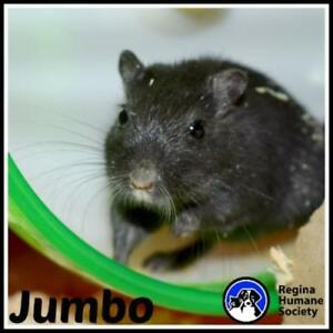 "Adult Male Small & Furry - Gerbil: ""Jumbo*"""