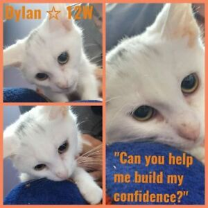 "Baby Male Cat - Domestic Medium Hair: ""Dylan 12 wks"""