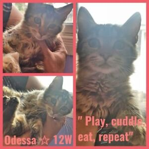 "Baby Female Cat - Tabby-Domestic Medium Hair: ""Odessa 12wks"""