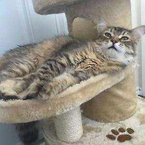 "Young Female Cat - Domestic Long Hair-Tabby (Buff): ""Fay"""