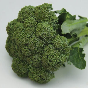 BROCCOLI-Green-Sprouting-Calabrese-125-seeds-vegetable-garden