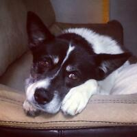 Adult Female  - Australian Shepherd-American Eskimo Dog