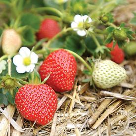 Strawberry 🍓 Plants 🌱