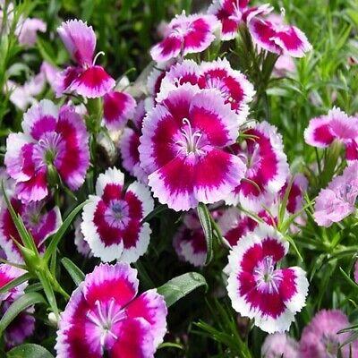 Dianthus Sweet William Mix Flower Seeds (Dianthus Barbatus) 200+Seeds