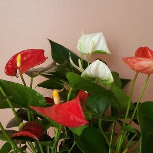 Anthurium / Flowering Indoor Plants / Houseplants