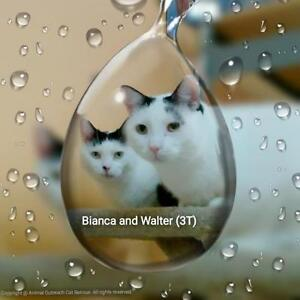 "Adult Female Cat - Domestic Short Hair-black and white: ""Bianca"" London Ontario image 2"