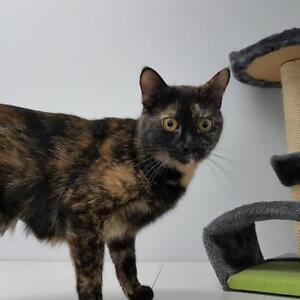 "Adult Female Cat - Domestic Short Hair: ""Willow"""