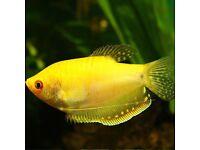 Gold gourami tropical fish 4.5inches