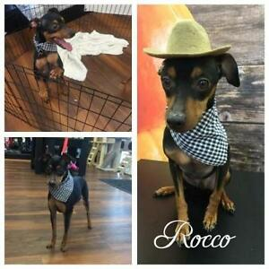 "Adult Male Dog - Miniature Pinscher-Manchester Terrier: ""Rocco"""
