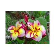 Frangipani Pflanze