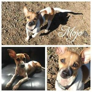 "Young Male Dog - American Hairless Terrier-Rat Terrier: ""Mojo"""
