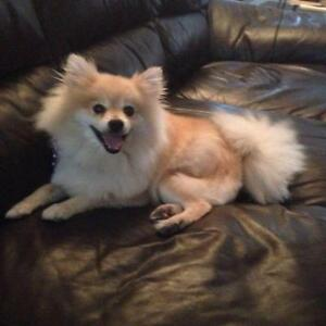 "Adult Male Dog - Pomeranian: ""Bert"""