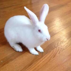 "Young Female Rabbit - New Zealand: ""Audrey Hopbun"""