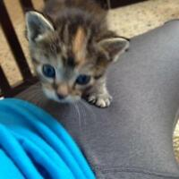 "Baby Female Cat - Domestic Short Hair: ""Paprika"""
